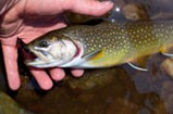 Brook trout for fishing
